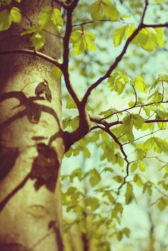 Spring is here. New leaves start to unfold on this lovely old beech tree.