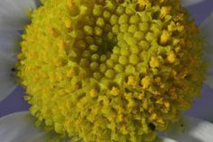 The Centre   #Flower  #pollen  #Petals  #stamen  #bloom  #Dramatic  #Collaborative  #CityscapePhotography  #Classic  #Astonishing  #astounding  #Intimate  #Remarkable  #Pictographic  #Tender  #Clean  #Clinched  #Clinical  #Pictorial  #AstroPhotography  #Atmospheric  #Picturesque  #CloseUpPhotography  #Coarse  #Cockled  #saturation  #wanderlust  #Photojournalism  #Attractive  #Austere
