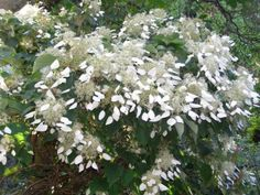 Schizophragma hydrangeoides - more spectacular for us than the usual climbing hydrangea