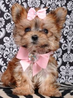 Teacup Morkie <3 i want one!