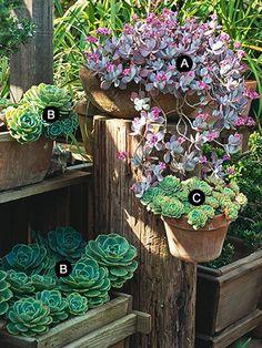 A. Flower dust plant (Kalanchoe pumila)  B. Echeveria imbricata   C. Echeveria secunda