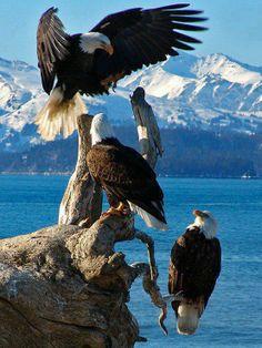 Amazing Abundant Eagles in Alaska