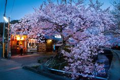 Philosopher's Walk sakura : Kyoto, Japan