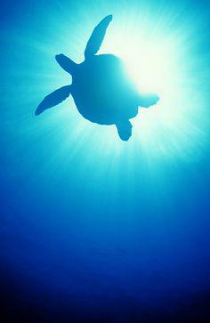 Sea turtle. For Little Mr. C.