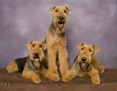 These are such pretty big dogs.. love the Airedale!!