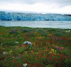 alaska wildflower landscape | Garden Destinations: Wildflower Garden at the Face of Hubbard Glacier ...