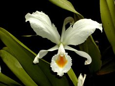 Orchid: Cattleya schroederae