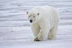 Polar bears have longer necks, and smaller heads and ears compared to other bears. Their white or yellowish coat is made of water repellant hair on top of a dense undercoat. They have large feet to help them swim and walk on thin ice. The bottoms of their feet are nearly covered in fur.