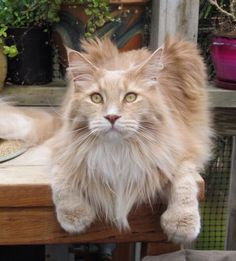 "Such a beautiful boy, Maine Coon ""Q"", not mine, beautiful!"