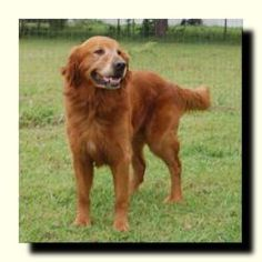 This is Drake - 8 yrs. He was picked up wandering & his owner contacted & they declined to come for him. He is neutered, current on vaccinations, potty trained, has good house manners, walks well on leash, gets along with other dogs & older kids, has not been cat tested. Drake is a happy boy looking for a forever home & is at Dallas Fort Worth Metro Golden Retriever Rescue, Dallas, TX.