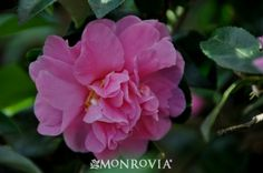 Monrovia's Autumn Spirit Camellia details and information. Learn more about Monrovia plants and best practices for best possible plant performance.