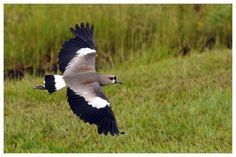 Southern Lapwing (Vanellus chilensis)