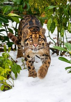 Clouded Leopard snow