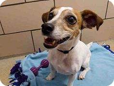 Fort Wayne, IN - Jack Russell Terrier. Meet PIPER, a dog for adoption. http://www.adoptapet.com/pet/18216483-fort-wayne-indiana-jack-russell-terrier