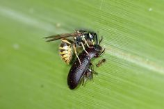 Pocket Science - wasps airlift ants away from food Wasp, Queen Bees, Ants, Insects, Science, Scientists, Food, Protein, University