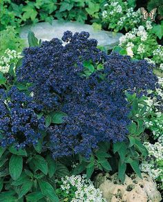 Heliotrope Marine - Blooms all year in cooler parts of yard as perennial in zone 9