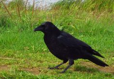 Mon adorable corneille. <3  Carrion crow by Thomas Humbert