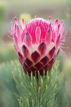 Protea Aristata - Love the beautiful hot pink bloom and unique pine-like foliage...