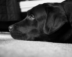 Animals Backgrounds In High Quality: Black Lab by Zalman Lent, June 1, 2015