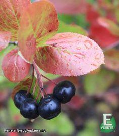 Aronia melanocarpa 'Hugin' E Aronia Melanocarpa, Hardy Plants, Planters, Climbers, Garden, Garten, Lawn And Garden, Gardens, Plant