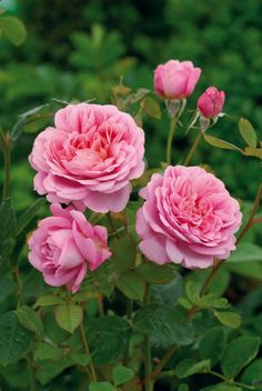 'Princess Alexandra of Kent' | David Austin English Rose