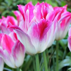 Tulip Bulbs (Triumph) Tender Whisper