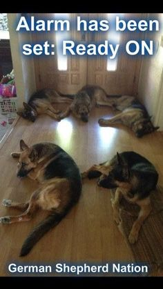 I would sure feel safe! Love GSDs!!!