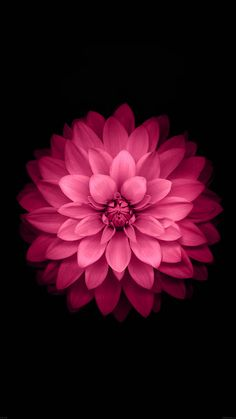 ↑↑TAP AND GET THE FREE APP! Nature Pink Flower Black Stylish Awesome Minimalistic Cool HD iPhone 6 plus Wallpaper