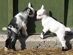 Pygmy Goats For Sale.. ( Goats )