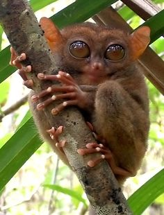 Tarsier. I hate to say this, but he looks like a grimlin from the movie grimlins.