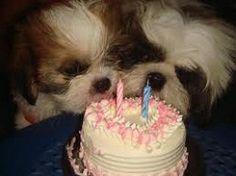 Shih Tzu Twin Puppies celebrating their Second Birthday together Shih Tzu Dog, Shih Tzus, Dog Birthday, Happy Birthday Me, Birthday Cake, Cute Dogs And Puppies, Doggies, Dog Cake Recipes, Bow Wow