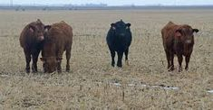 Image result for fields of cattle Cow Pattern, Cattle, Fields, Animals, Image, Gado Gado, Animales, Animaux, Cow