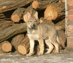 Czechoslovakian Czech Wolfdog
