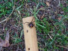 Nice sized Red Back..