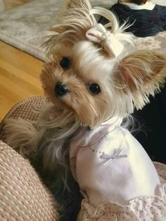 Check Out Yorkshire Terrier Puppy Teacup Tiny Puppies, Puppies And Kitties, Cute Puppies, Cute Dogs, Corgi Puppies, Teacup Yorkie, Teacup Puppies, Beautiful Dogs, Animals Beautiful