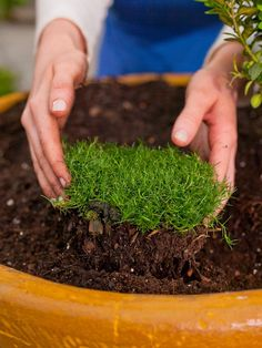 "Turf for Tiny Gardens Irish moss makes a perfect ""lawn"" that doesn't have to be mowed."
