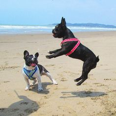 Today was my first time at the beach and I had a blast with my sister Donna! ♥ #beachtime #frenchbulldog #frenchielife #frenchbullys #bullieslife #frenchiestyle #playas by django_the_frenchbully...