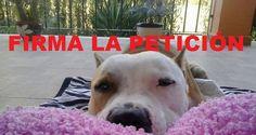 pit bull yak petición change comunidad defendemos a los animales google + firmemos todos haciendo clic en la foto, ¡justicia contra los maltratadores de animales