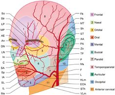 Arteries of the Face & Neck - James H. Facial Nerve Anatomy, Arteries Anatomy, Massage Corps, Dental Assistant Study, Anatomy Images, Facial Fillers, Facial Aesthetics, Medicine Student, Medical Anatomy
