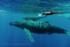 Swimming with the whales, 'Eua