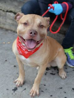 SUPER URGENT TO BE DESTROYED - 02/04/15 Brooklyn Center SAMMY - A1025333 **SAFER: AVERAGE HOME** MALE, TAN / WHITE, AM PIT BULL TER MIX, 1 yr STRAY - STRAY WAIT, NO HOLD Reason STRAY Intake condition EXAM REQ Intake Date 01/12/2015 https://www.facebook.com/photo.php?fbid=946949871984559 https://www.facebook.com/Urgentdeathrowdogs/photos/a.617942388218644.1073741870.152876678058553/946949871984559/?type=3&theater