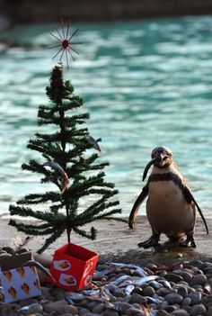 Oh penguin tree, oh penguin tree. I have a little fishie for you.