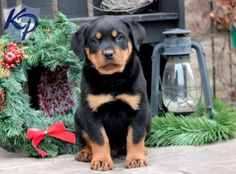 Bo – Rottweiler Puppy www.keystonepuppies.com  #keystonepuppies  #rottweiler