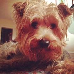 Max's #selfie #dogselfie #yorkie