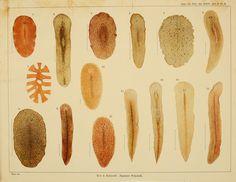 Description of some Japanese Polyclad Turbellaria - BioStor