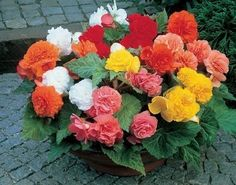 Begonia Nonstop Mix Pelleted Seeds 50 BULK SEEDS #begoniaseeds