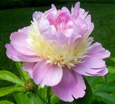 My favourite Peony - Raspberry Sundae.  Photo taken in my yard June 2012.