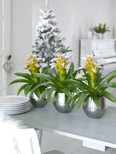bromeliads, urban style #holidays