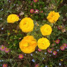 #라넌큘러스 #flower #korea #hanbros