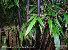 Muda De Bambu Gigante, Guadua, Mosso, chinês, negro, barriga de buda e imperial